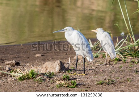 Two Little Egrets standing by the shores of Kuriftu Lake in Debre Zeit - stock photo