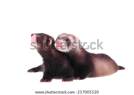 Two little ferret babies isolated in white background - stock photo