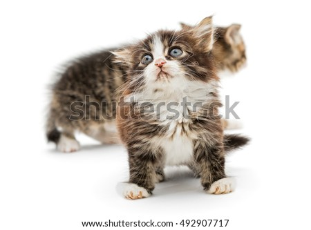 Two little fluffy kitten with big blue eyes, isolated on white background