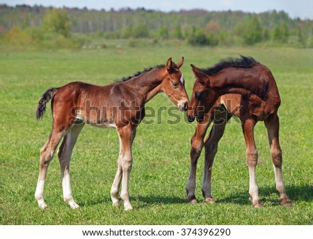 Two little foals standing on to the summer meadow
