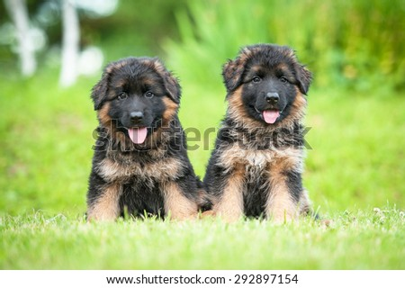 Two little german shepherd puppies sitting on the lawn - stock photo
