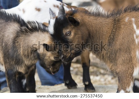 Two little goats butting
