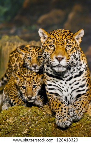 Two little Jaguar Cubs and their mother looking into the camera - stock photo
