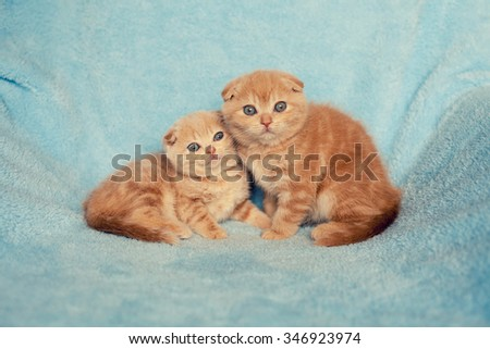 Two little kitten on blue  blanket, looking at camera - stock photo