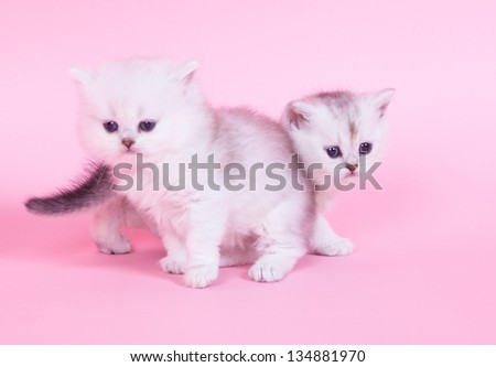 Two little kitten portrait in studio