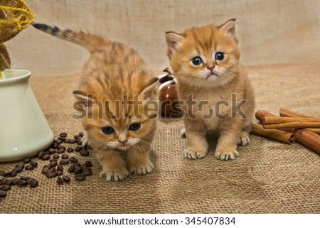 Two little kittens Golden color and ingredients for making coffee