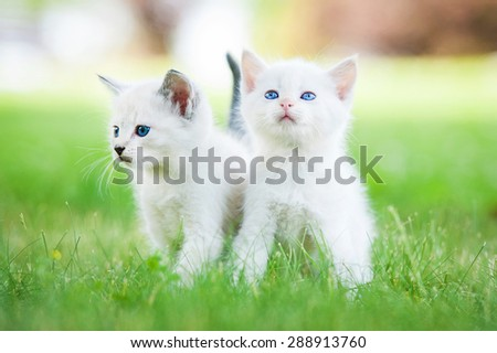 Two little kittens with blue eyes walking outdoors - stock photo