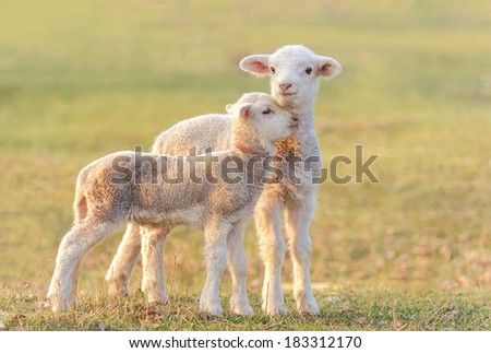 Two little lambs at eco farm, from Tulcea, Romania.  - stock photo