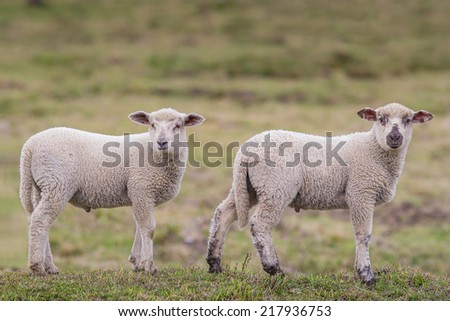 Two little lambs in the pasture