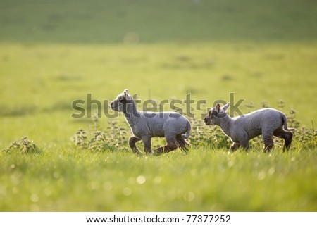 Two little lambs running - stock photo