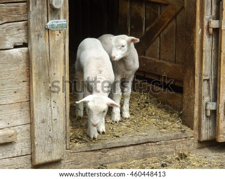 Two little lambs staying in the door in farm and waiting their farmer
