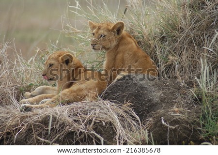 two little lion - stock photo