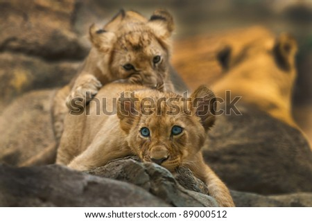 Two little lion Cubs siblings playing with each other