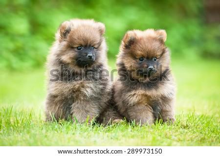 Two little pomeranian spitz puppies sitting outdoors - stock photo