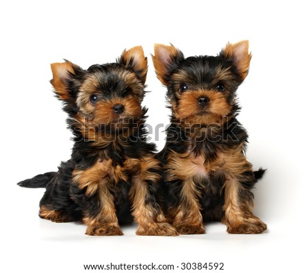 Two little puppies of the Yorkshire Terrier