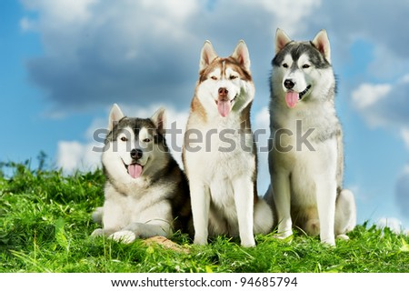 two little puppy of Siberian husky dog of one month isolated on green grass - stock photo