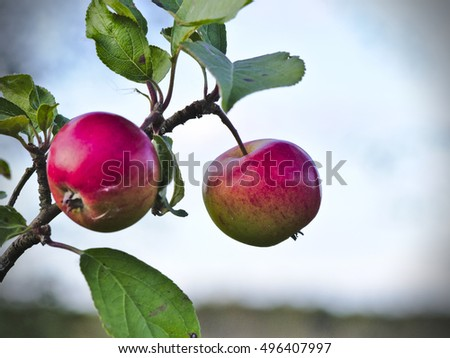 Two little red apples hanging on the tree isolated.