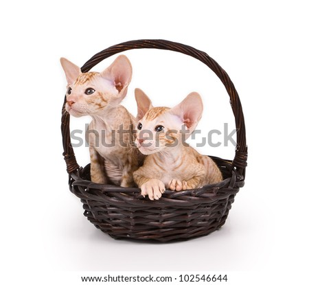 two little red kitten sitting in a wicker basket isolated on white background