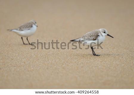 Two little stints (Calidris minuta) at the seaside - stock photo