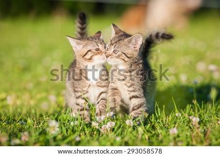 Two little tabby kittens kissing - stock photo