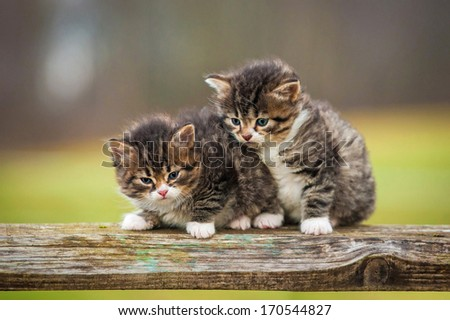 Two little tabby kittens sitting on the fence