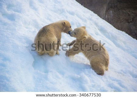 Two little white bears playing in the snow