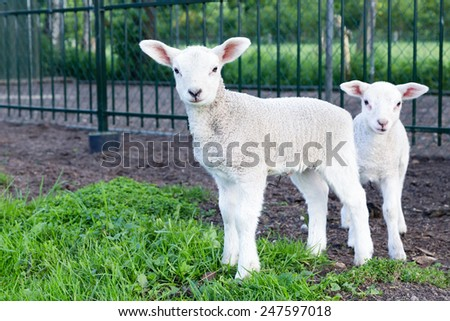 Two little white lambs standing in green grass  - stock photo