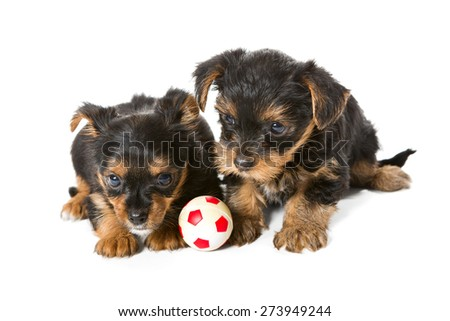 Two little Yorkshire Terrier puppy, toy ball, isolated on white background