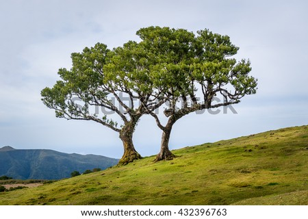 Two lonely trees growing in the hills of Madeira mountain plateau. Hiking routes of Fanal forest, Madeira island, Portugal.