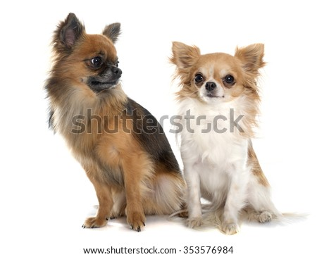 two long hair chihuahuas in front of white background - stock photo