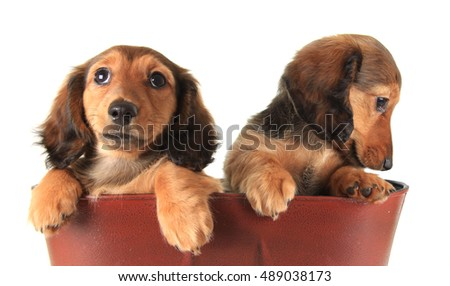 Two Longhair dachshund puppies.