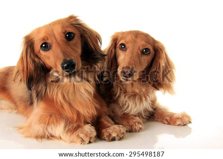 Two longhair dachshund, studio isolated on white.