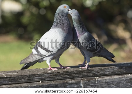 two love gray pigeons on a wooden railing, Orlando - stock photo