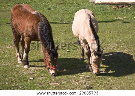 two lovely horses eating grass - stock photo