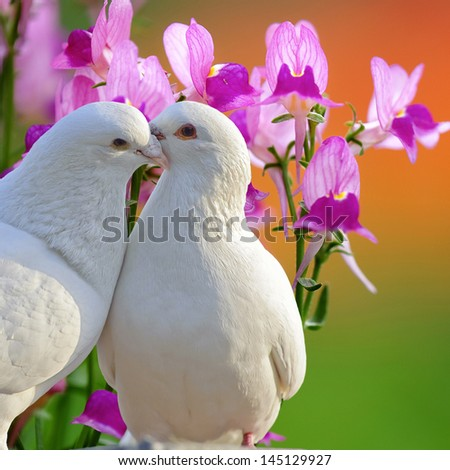 two loving white doves and butterfly orchid flower