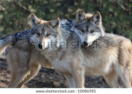 Two Loving Wolves - stock photo
