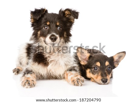 two lying puppy looking at camera. isolated on white background