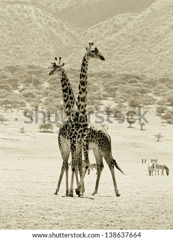 Two maasai giraffes in Crater Ngorongoro National Park - Tanzania (stylized retro) - stock photo