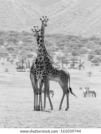 Two maasai giraffes in the Serengeti National Park - Tanzania, East Africa (black and white) - stock photo