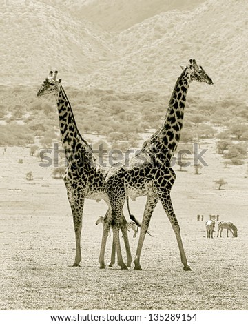 Two maasai giraffes in the Serengeti National Park - Tanzania, Eastern Africa (stylized retro) - stock photo