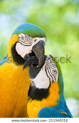 Two macaw birds playing with each others beaks - stock photo