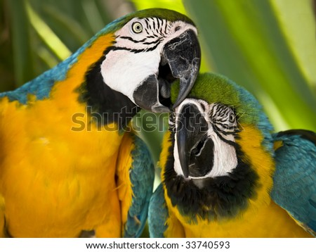 Two macaws posing to camera