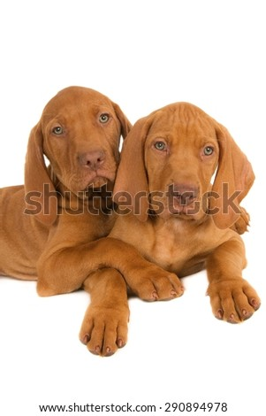 Two Magyar Vizsla puppy friends, isolated on white - stock photo