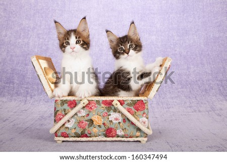 Two Maine Coon kittens hugging while sitting inside basket on lilac light purple background - stock photo