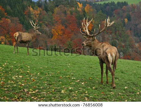two majestic deer on autumn background - stock photo