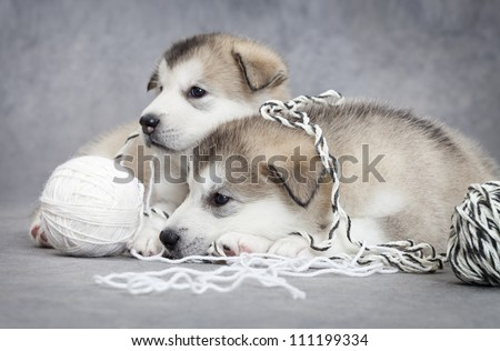 Two malamute puppies take a rest after play with a ball of string - stock photo