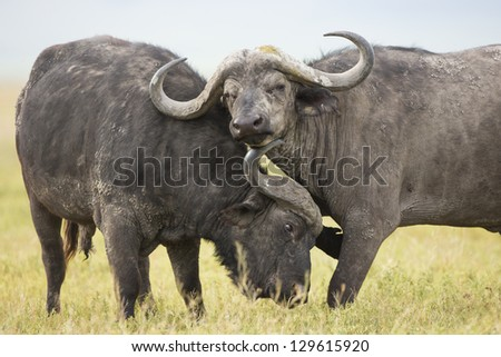 Two male Cape Buffaloes (Syncerus caffer) in the Ngorongoro Crater in Tanzania - stock photo