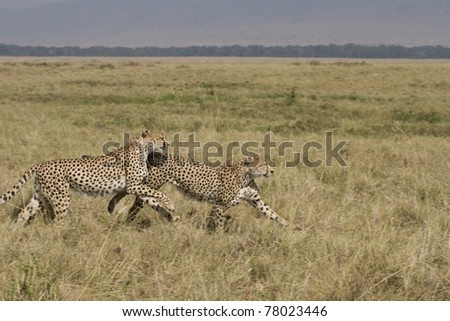 Two male cheetah running on the plains in the Masai Mara. - stock photo