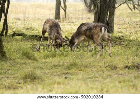 Two Male Deer Fighting on the Grass