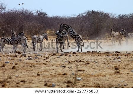 two male fighting zebras in Etosha National Park, Namibia - stock photo